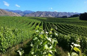 Churton vineyard